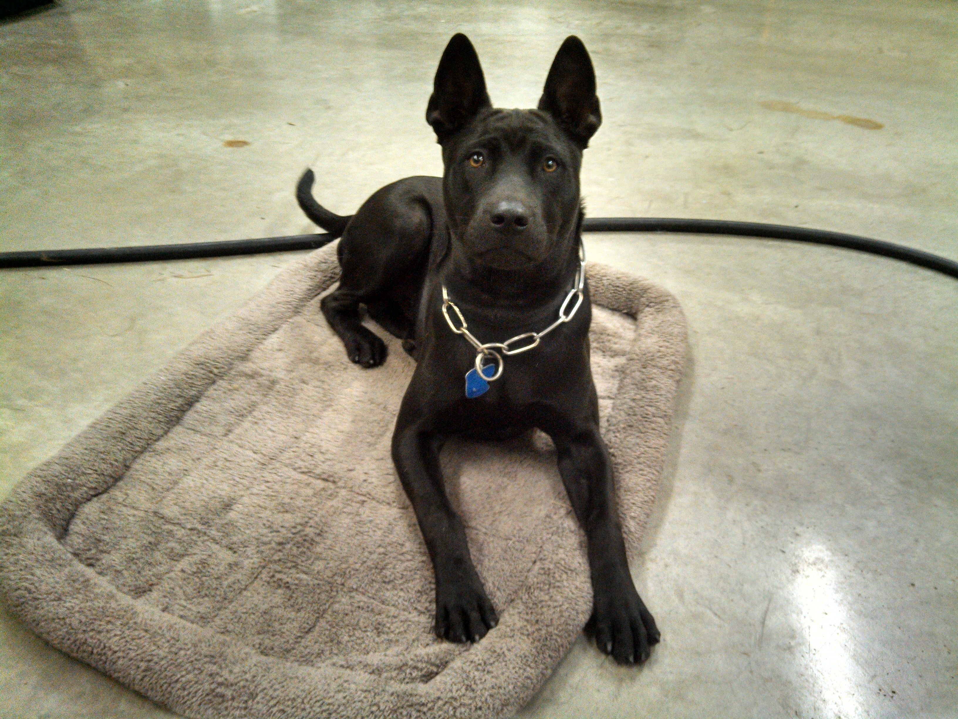Thai Ridgeback Usa Home